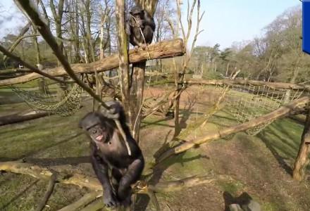 Affe attackiert Drohne