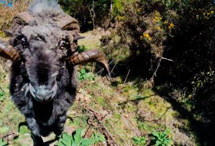 Verärgerter Bock holt Drohne vom Himmel